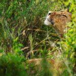 World Lion Day 01